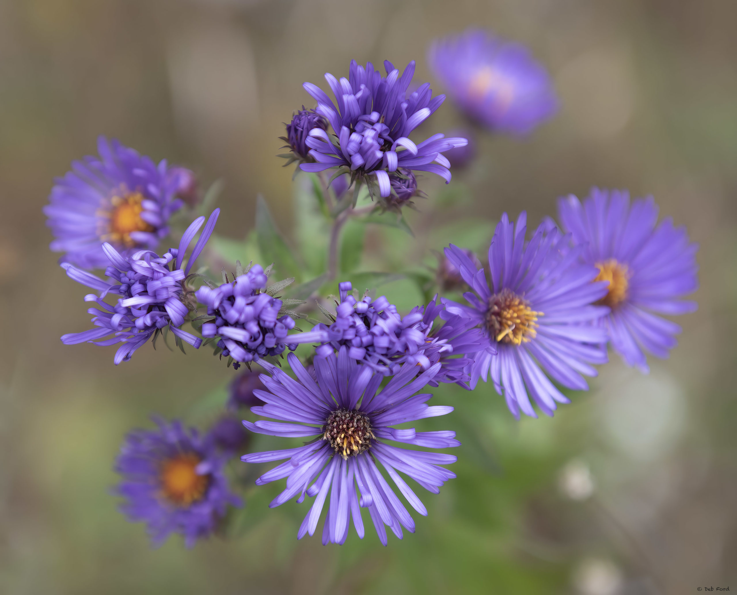 New England Aster; © Deb Ford